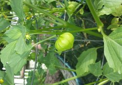 tomatillos after soil amendment